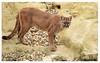 Puma, Wildlife Heritage Fund. (Jas Mahal) Tags: cat nikon puma cougar 70200 mountainlion whf flickrbigcats nikond7000 ronin237