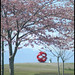 Cherry Blossoms Garry Point 7113e