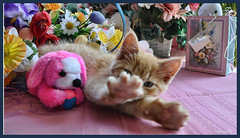 Cute Easter Kitty Cat Kitten in Home Garden Art Decor with Easter Eggs, Stuffed Bunny Rabbits & Spring Flower Basket with Daffodils & Tulips on an Easter Holiday Weekend in Canada. Cute Kitty Cat Kitten ...Kitty Cat Kitten...Cute Kitty Cat Kitten... (Chantal PhotoPix) Tags: family pink flowers decorations friends light wallpaper portrait cats pets holiday canada flower color cute rabbit bunny bunnies art nature beautiful beauty animals photoshop canon painting easter fun photography photo interestingness spring amazing funny colorful day basket purple artistic photos sweet pastel background awesome egg interestingness1 kittens best hires baskets kitties eggs tabbies felines rabbit
