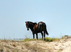 Black Beauty (Terry Aldhizer) Tags: blue wild sky horse black beach beauty photography artist head dune north terry carolina outer banks corolla nags aldhizer