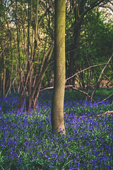 IMG_2522.jpg (Adam_Marshall) Tags: uk flowers blue tree green nature vertical bluebells forest landscape moss spring woods trunk cambridgeshire huntingdon sawtry archerswoods