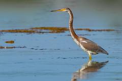 Tricolored Heron (Egretta tricolor) - Gilbert, AZ (bcbirdergirl) Tags: egrettatricolor tricoloredheron rare az arizona gilbert riparianpreserveatwaterranch usa waterranch juvenile