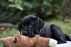 miles_9-28-16f (bmullaney1) Tags: black labrador dog retriever lab