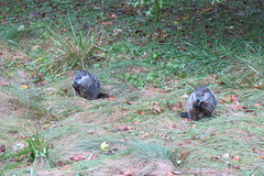 Sept302016001 (Sredy's Store) Tags: groundhog woodchuck pennsylvania pa wildlife nature
