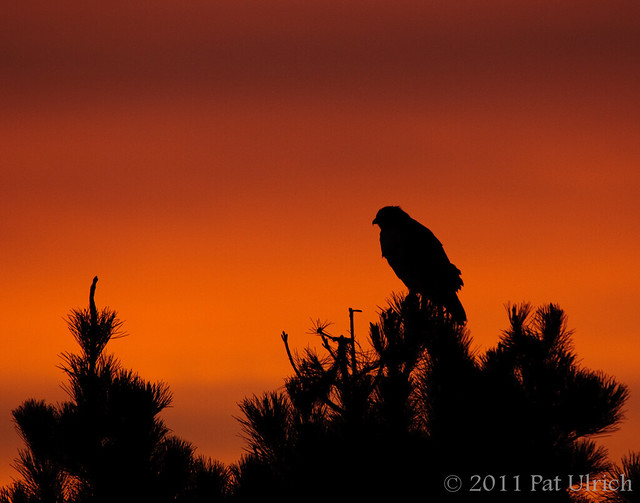 Sunrise watchman, Point Reyes National Seashore - Pat Ulrich Wildlife Photography