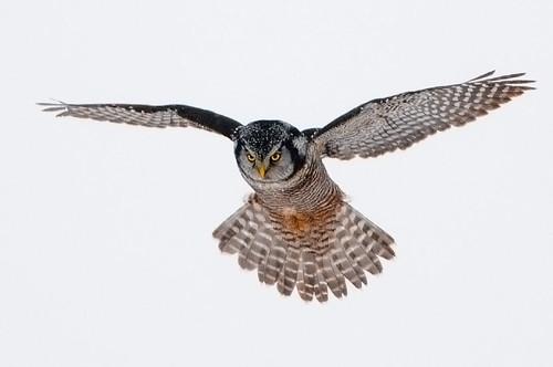 Hunting Hawk Owl