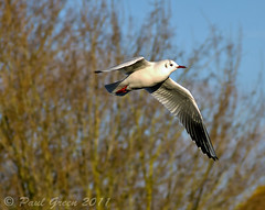Seagull....(Manual Mode) (Paul Green Photography) Tags: pictures uk blue trees urban southwest bird birds digital canon river bristol wings branch unitedkingdom vibrant seagull branches united country feathers somerset photograph 7d twigs avian clevedon 24105 bokah canon24105 canonusm canon7d canon24105lens counytside