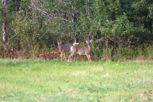 White-tailed buck & doe   005.jpg