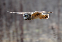 Short-eared owl [Explored] (amylewis.lincs) Tags: england bird nature animal nikon wildlife sigma lincolnshire 2011 asioflammeus d3000 150500mm