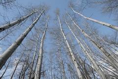 birch-reach