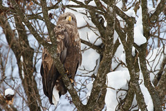 Male White Tailed Eagle - I assume it's male as it's a bit small and weedy........