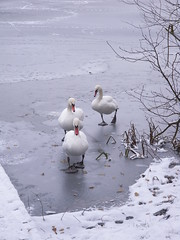 White swans waddling on frozen lake in snow (amazing_tina) Tags: trees winter snow cold ice reading frozen scenic berkshire frozenlake woodley beaks waddling whiteswans completelyfrozen