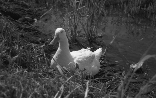 白黒のアヒルのフリー写真素材