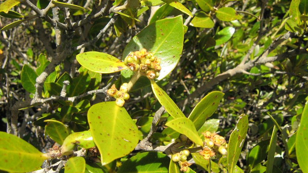Avicennia marina (White Mangrove) in Bunbury   This colony o…   Flickr