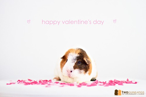 twoguineapigs pet photography pet portrait of a guinea pig called wiggley on valentine's day 2011