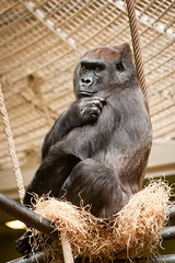 2011-02-13-13h54m27.272P9572 (A.J. Haverkamp) Tags: zoo rotterdam blijdorp gorilla annette dierentuin diergaardeblijdorp westelijkelaaglandgorilla canonef70200mmf28lisusmlens httpwwwdiergaardeblijdorpnl pobinthewild dob01011973