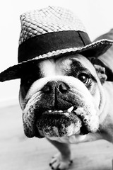 Dandy (Oh beautiful world.) Tags: blackandwhite dog pets cute hat animals funny bulldog englishbulldog ohbeautifulworld hannekevollbehr
