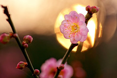 夕照寒梅 - Sunset of Plum Blossoms - Taichung City municipal Shuang-Shih Junior High School (prince470701) Tags: taiwan sony100macro sonya850 台中市雙十國中 taichungcitymunicipalshuangshihjuniorhighschool 夕照寒梅 sunsetofplumblossoms