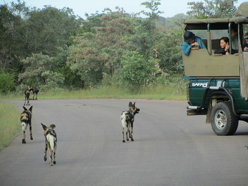 Wild Dogs at Kruger National Park