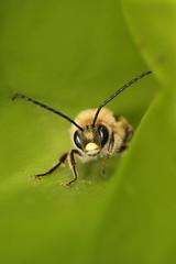 "insect (aziouezmazouz) Tags: macro insect bokeh bellissima greatphotographers macromarvels macrolife ahqmacro ""flickraward"" ""flickraward5"" ""physis"