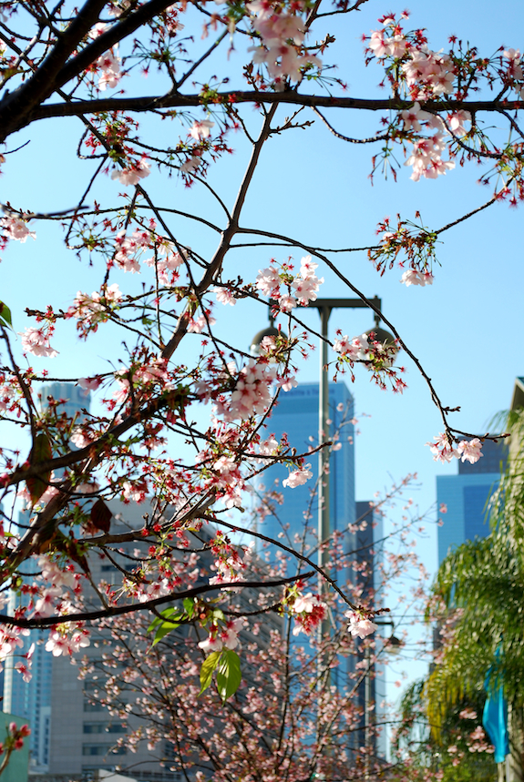 DTLA through the blossoms...