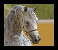 Arabian Horses (HANI AL MAWASH) Tags: art animal photo kuwait hani  artphoto      animalkingdomelite mywinners  aplusphoto kuwaitphoto   almawash almwash kuwaitartphoto kuwaitart  mawash