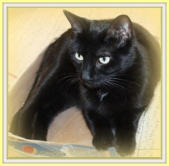 Pixie's Box Picniked! (silverbox2: Willow Is Purring) Tags: pet cat blackcat eyes feline box pixie lovely picnik naturesfinest youlookinatme supershot 1000nights siamesecatsandtheirfelinebrothers wonderfulfelinesworld picnikerstheofficialpicnikgroup