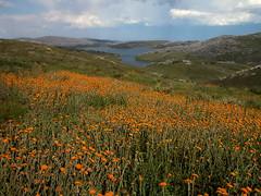 Alpine wildflowers (phunnyfotos) Tags: summer mountains australia victoria alpine wildflowers fallscreek newyearsday alpinenationalpark northeastvictoria bogonghighplains rockyvalleydam phunnyfotos