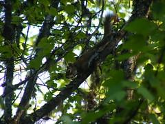 Douglas squirrel in a Douglas maple (Jrtayloriv) Tags: selkirks douglassquirrel douglasmaple