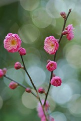 ume ~Japanese apricot ~ (snowshoe hare*) Tags: flowers 京都 ume 梅 plumblossoms japaneseapricot ウメ prunusmume 北野天満宮梅苑