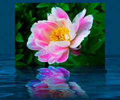 Peony Dream (snapdragginphoto) Tags: newzealand christchurch photoshop earthquake durham dream northcarolina peony dukegardens sarahpdukegardens cs5 appealforvictims redcrossnz samaritanspursenz