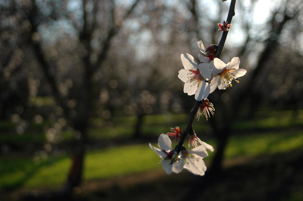 day 54 - almond blossom