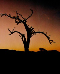 Namibia, Baumskelett  , Galgenbaum bei Sonnenuntergang , effect  - F16 (roba66) Tags: trees sunset colour tree sonnenuntergang sundown expression natur experiment effect namibia farbe bume flickrbestpics vipveryimportantphotos