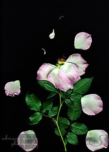 Scanograph Rose I