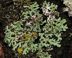 Physcia aipolia 'Hoary Rosette Lichen' (dougwaylett) Tags: canada alberta lichens foliose physciaaipolia physcia hoaryrosettelichen hilliardsbayprovincialpark taxonomy:binomial=physciaaipolia