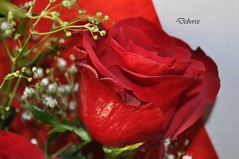 rosa in primo piano (Debora Matteis) Tags: red rose rosa rosso mazzo fiorellini bunchofroses