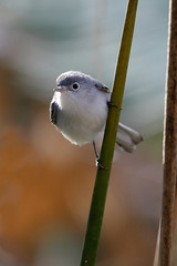 Who am I? (Blue-gray Gnatcatcher, Polioptila caerulea) (Antje Schulte) Tags: florida corkscrew bluegray gnatcatcher bluegraygnatcatcher polioptilacaerulea corkscrewswamp
