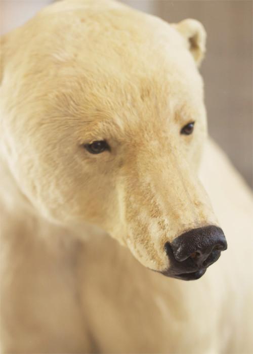 California Polar Bear