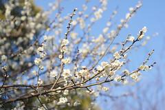 Mar 5, 2011-11 (tarotaro-san) Tags: winter flower japan cherry spring nikon sony plum nex 2011 nex5