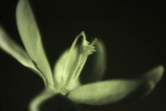 Infrared Crocus 33/52 (sleepyhead's) Tags: flower project ir 33 crocus infrared weeks 52 fiftytwo iridaceae 52weeks 3352 asparagales crocussativus project52 52weeksproject projectfiftytwo 33of52 crocoideae fiftytwoweeksproject infraredcrocus