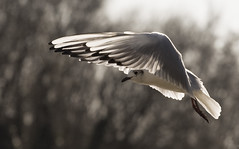 Gull at Leybourne Lake Country Park, Kent, England (kjlast) Tags: bird fly flying wings gull flight leybourne canonef70200mmf4lusm