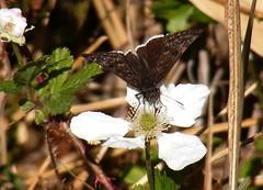 Funereal Duskywing on Blackberry flower (asterisktom) Tags: butterfly texas mariposa schmetterling  delrio funereal    duskywing funerealduskywing
