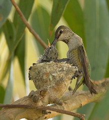 MOTHER AND CHICK (sea25bill) Tags: california usa tree nature birds nest feeding wildlife mother chicks avian annashummingbird santabarbaracounty