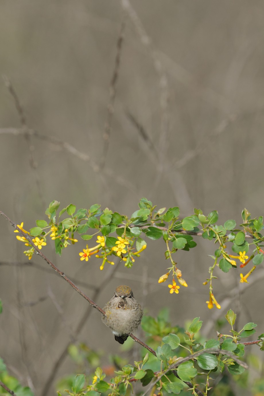 Anna's Hummingbird 030711