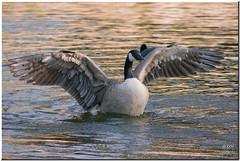 Full of the joys of spring! (Maria-H) Tags: uk england canada wings cheshire goose panasonic dunhammassey 100300 gh2 dmcgh2