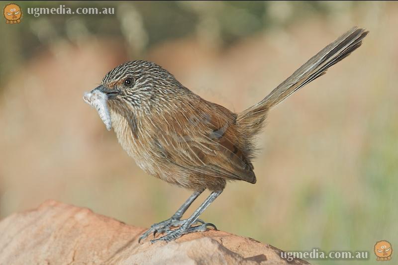 Dusky grasswren (Amytornis purnelli)