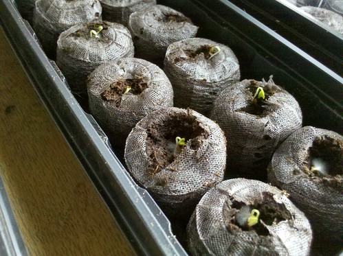 cell phone photo of seedlings