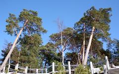IMG_9575 (Tornny) Tags: sea sky beach pine forest canon spring sand dunes dune bluesky natura latvia riga balticstates thebalticsea латвия whitedune canon450d baltakapa белаядюна