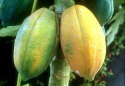 木瓜油-20100908144049_m