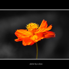 cosmos flower #30 [explored] (e.nhan) Tags: light flower art nature yellow closeup landscape colours dof bokeh cosmos backlighting enhan